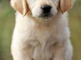 Собаки, щенята Золотистий ретрівер, ціна 7000 Грн., Фото