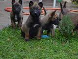 Собаки, щенки Бельгийская овчарка (Малинуа), цена 3500 Грн., Фото