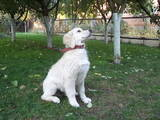 Собаки, щенята Золотистий ретрівер, ціна 5000 Грн., Фото