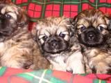 Собаки, щенки Тибетский спаниель, цена 100 Грн., Фото