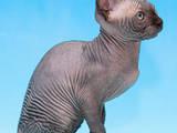 Кошки, котята Канадский сфинкс, цена 4500 Грн., Фото