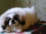 Собаки, щенки Пекинес, цена 10000 Грн., Фото