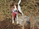 Собаки, щенки Гладкошерстный фокстерьер, цена 10 Грн., Фото