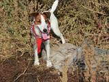Собаки, щенята Гладкошерста фокстер'єр, ціна 10 Грн., Фото