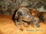Собаки, щенята Гладкошерста такса, ціна 500 Грн., Фото