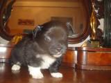 Собаки, щенята Той-пудель, ціна 10 Грн., Фото