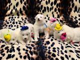 Собаки, щенки Самоед, цена 5000 Грн., Фото