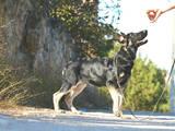 Собаки, щенки Восточно-Европейская овчарка, цена 5500 Грн., Фото