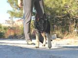Собаки, щенята Східно-Європейська вівчарка, ціна 5500 Грн., Фото