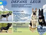 Собаки, щенки Восточно-Европейская овчарка, цена 12000 Грн., Фото