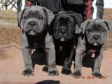 Собаки, щенята Кане Корсо, ціна 3000 Грн., Фото