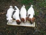 Собаки, щенки Гладкошерстный фокстерьер, цена 650 Грн., Фото