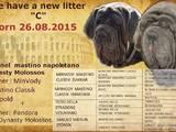 Собаки, щенки Мастино неаполетано, цена 38000 Грн., Фото