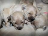 Собаки, щенята Золотистий ретрівер, ціна 5500 Грн., Фото