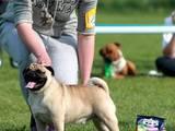 Собаки, щенки Мопс, цена 100 Грн., Фото