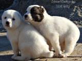 Собаки, щенки Среднеазиатская овчарка, цена 5700 Грн., Фото