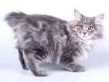 Кошки, котята Курильский бобтейл, цена 4000 Грн., Фото