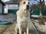 Собаки, щенята Середньоазіатська вівчарка, ціна 1400 Грн., Фото