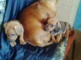 Собаки, щенята Жорсткошерста такса, ціна 200 Грн., Фото