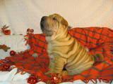 Собаки, щенята Шарпей, ціна 11 Грн., Фото