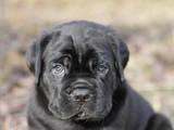 Собаки, щенки Кане Корсо, цена 8000 Грн., Фото
