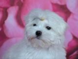 Собаки, щенки Мальтийская болонка, цена 55000 Грн., Фото