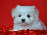 Собаки, щенята Мальтійська болонка, ціна 65000 Грн., Фото