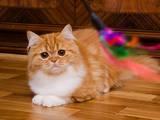 Кошки, котята Хайленд Фолд, цена 4500 Грн., Фото