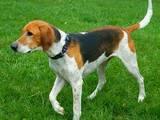 Собаки, щенки Ганноверская гончая, цена 500 Грн., Фото