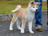 Собаки, щенята Акіта-іну, ціна 18000 Грн., Фото