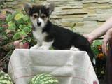Собаки, щенята Вельш коргі пемброк, ціна 14000 Грн., Фото