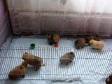 Собаки, щенки Карликовый шпиц, цена 4000 Грн., Фото