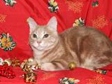 Кошки, котята Курильский бобтейл, цена 2500 Грн., Фото