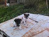Собаки, щенята Гладкошерста фокстер'єр, ціна 2700 Грн., Фото