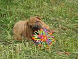 Собаки, щенки Шарпей, цена 4000 Грн., Фото