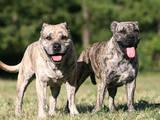 Собаки, щенята Мальоркскій бульдог (Ка Де Бо), ціна 1000 Грн., Фото