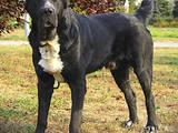 Собаки, щенки Среднеазиатская овчарка, цена 17500 Грн., Фото