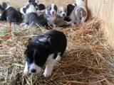 Собаки, щенята Середньоазіатська вівчарка, ціна 10000 Грн., Фото