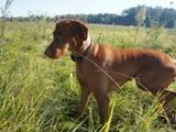 Собаки, щенки Венгерская выжла, цена 4000 Грн., Фото