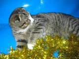 Кішки, кошенята Шотландська короткошерста, ціна 700 Грн., Фото