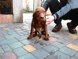 Собаки, щенки Венгерская выжла, цена 6500 Грн., Фото