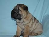 Собаки, щенята Шарпей, ціна 9000 Грн., Фото