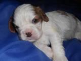 Собаки, щенки Кавалер-Кинг-Чарльз спаниель, цена 25000 Грн., Фото