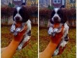 Собаки, щенки Русский спаниель, цена 2200 Грн., Фото