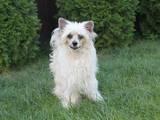 Собаки, щенки Китайская хохлатая собака, цена 7000 Грн., Фото