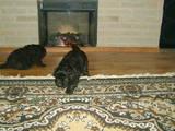 Собаки, щенята Ньюфаундленд, ціна 3800 Грн., Фото