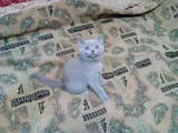 Кішки, кошенята Британська короткошерста, ціна 1300 Грн., Фото