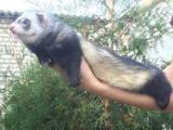 Тварини Фреткі, тхори, ціна 1000 Грн., Фото