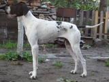 Собаки, щенята Англійський пойнтер, ціна 2500 Грн., Фото
