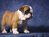 Собаки, щенята Англійський бульдог, ціна 20000 Грн., Фото